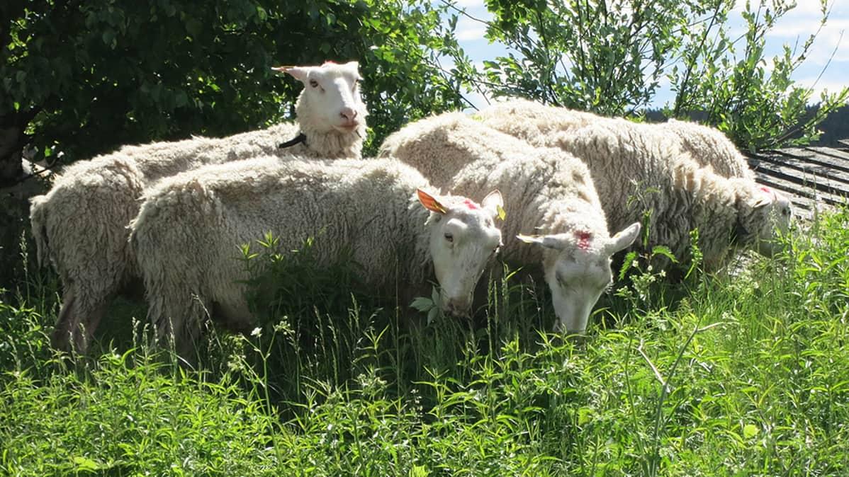 Lampaiden siirto kesälaitumelle Kotisaareen
