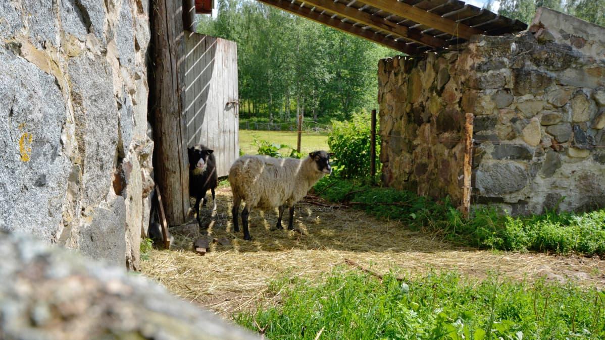Lampaat pitävät lepotaukoa Harjun tilalla.