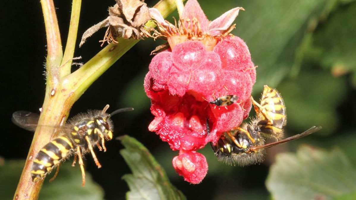 Kuvassa kaksi ampiaista vadelman kimpussa.