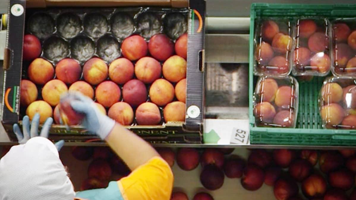 Persikoita pakataan laatikkoon liukuhihnalla Espanjassa.