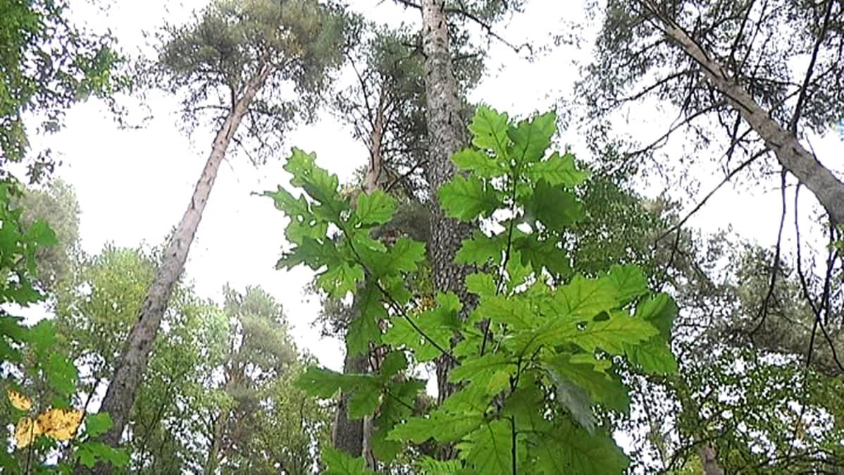 Tammen taimi mäntyjen katveessa Kalevanharjulla.