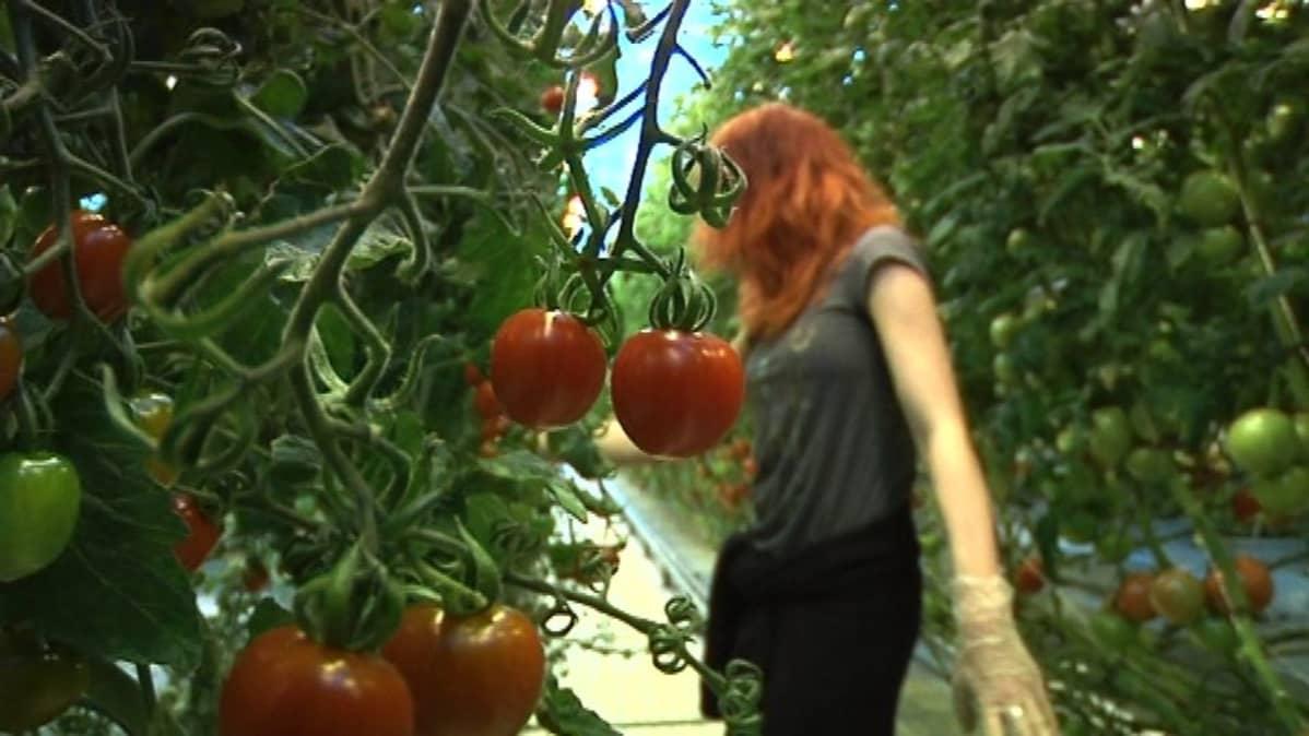 Tomaatteja poimitaan kasvihuoneessa Lepaalla
