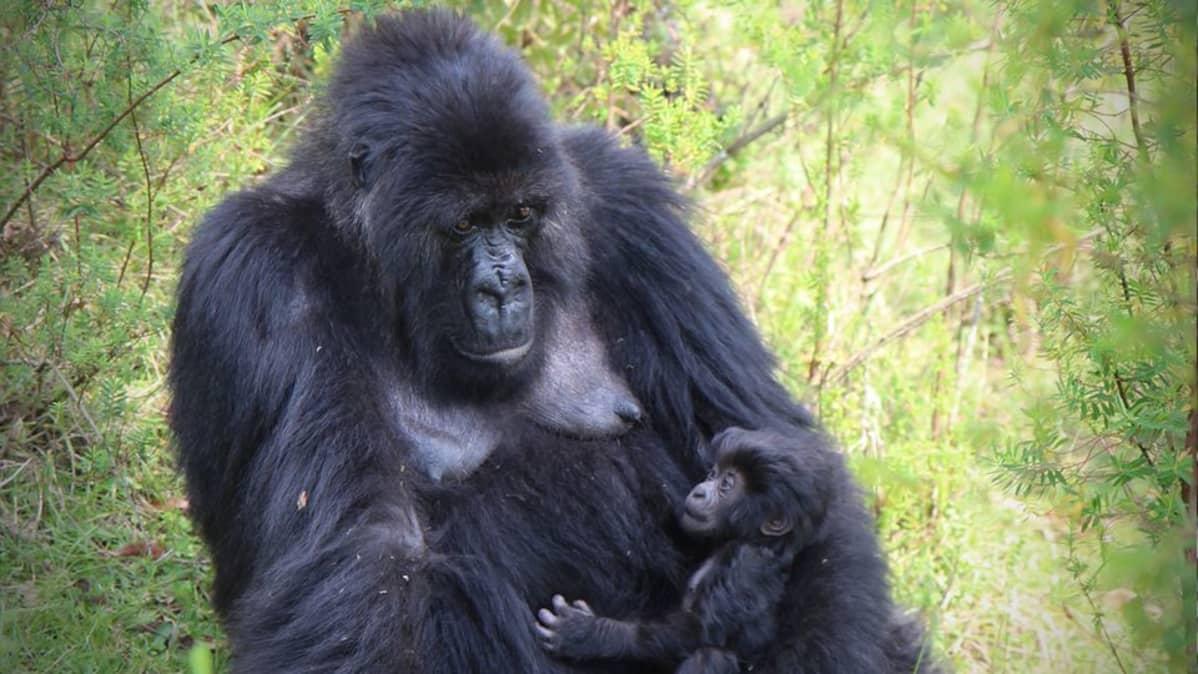 Gorillaäiti ja poikanen