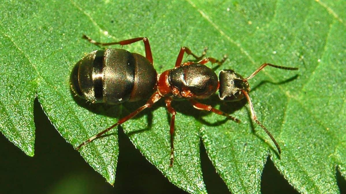 niittymuurahainen (Formica pratensis)