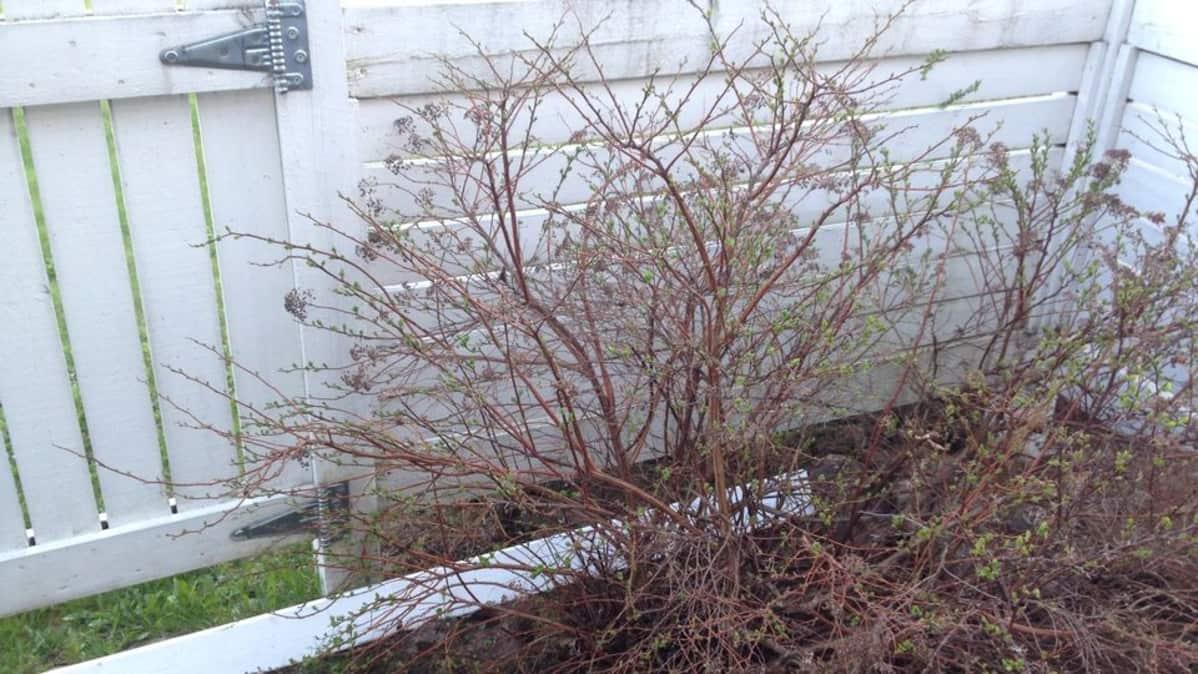 Rivitalopihan aidan viereen on istutettu pensas.