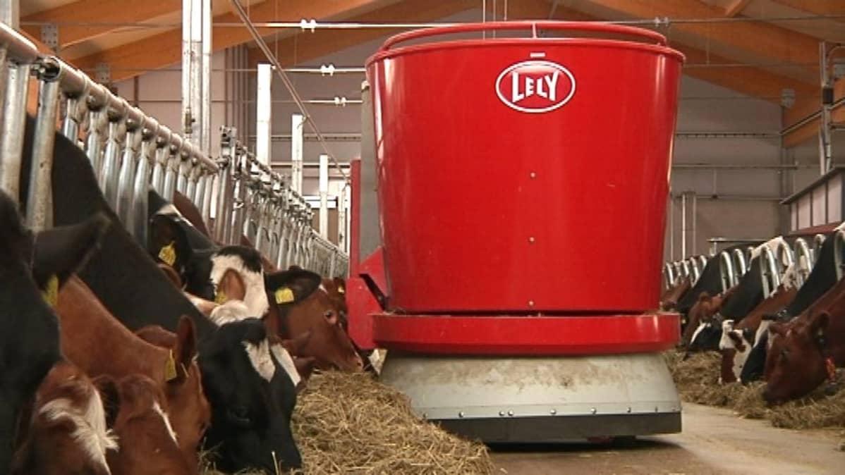 Punainen robotti lehmien edessä