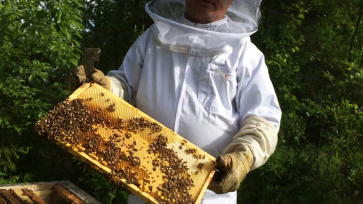 Mehiläistenhoitaja esittelee kennoa.