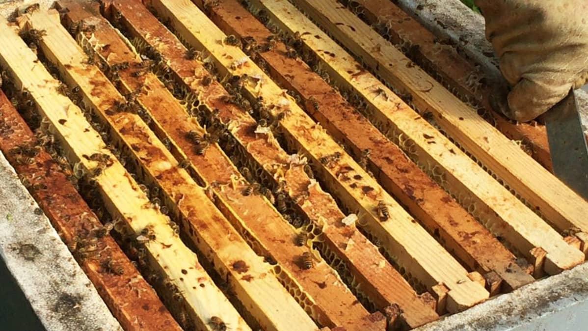 Mehiläiskenno.