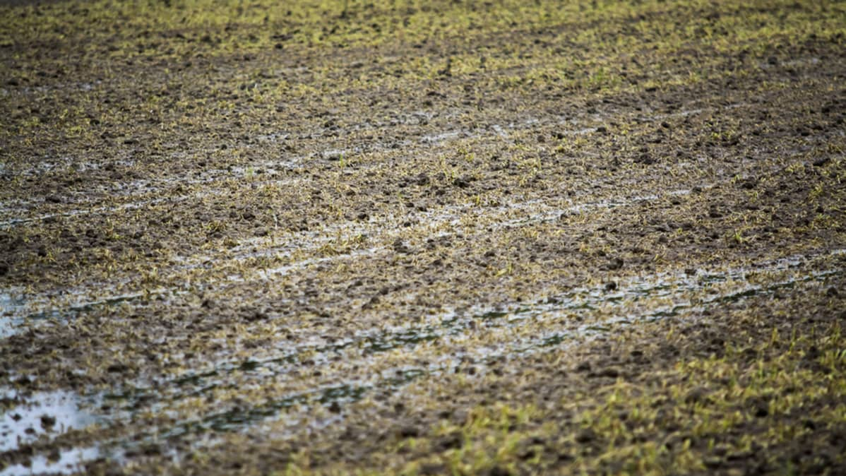 Veden vallassa oleva pelto, jonka kylvö on pilalla.