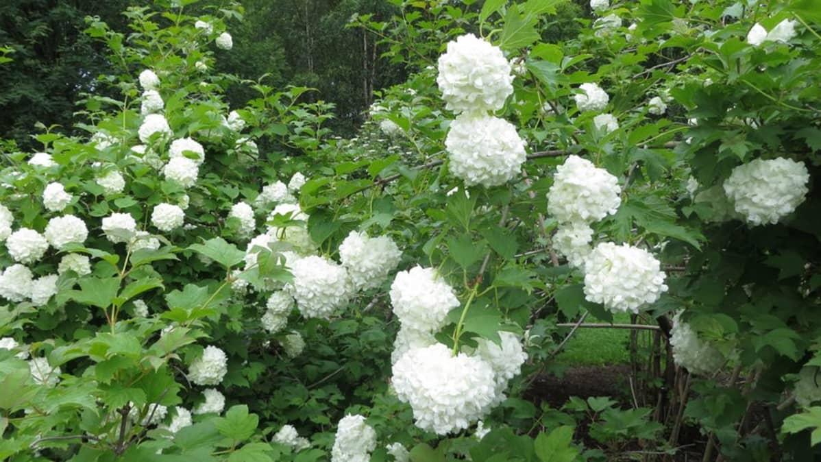 Lumipalloheisipuu, puutarha