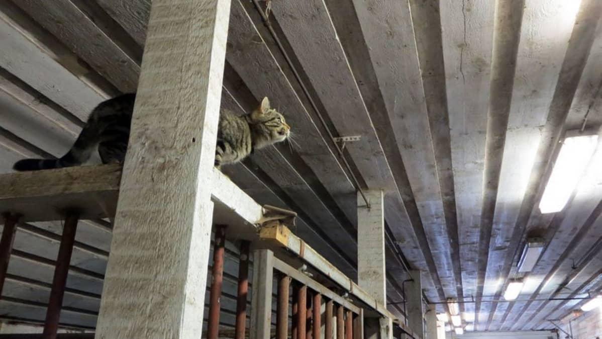 Kissa väijyy lintua hevostallin katon rajassa