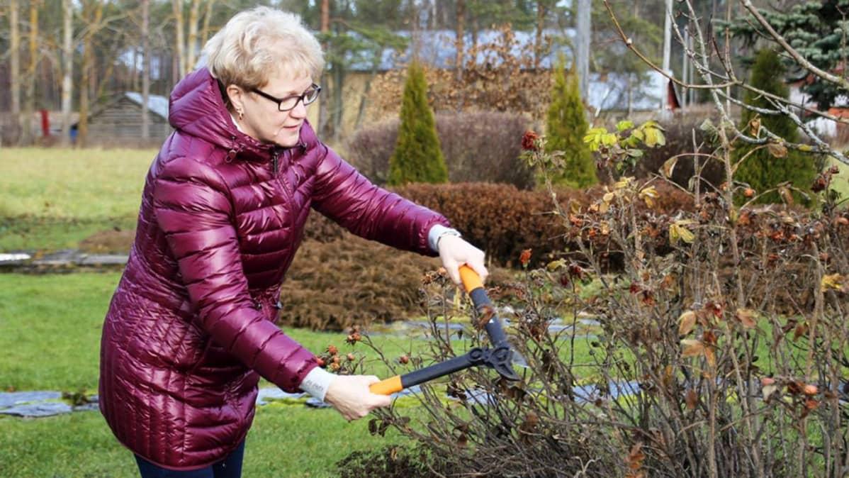 Vuokko Huumarkangas leikkaa ruusupensasta.