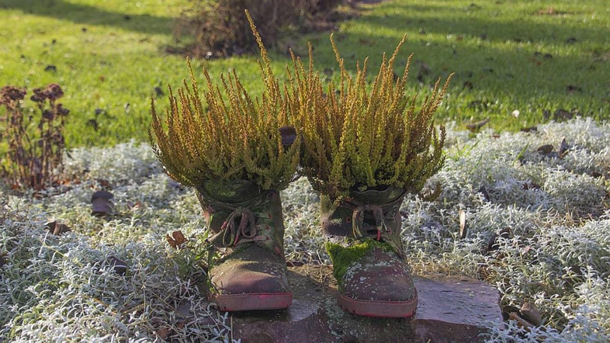 Kengissä kasvavaa callunat.