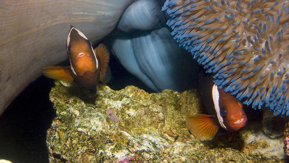 Emma ja Kamu, kalapariskunta akvaariossaan.