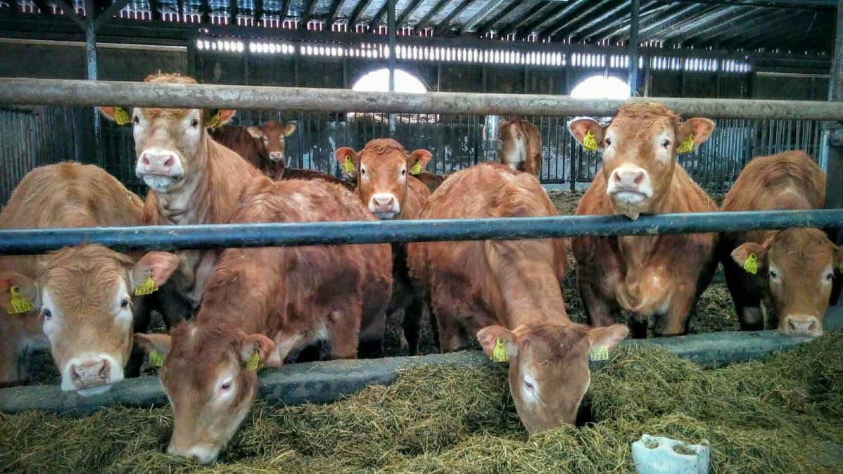 Limousin-lihakarjaa pihatossa.