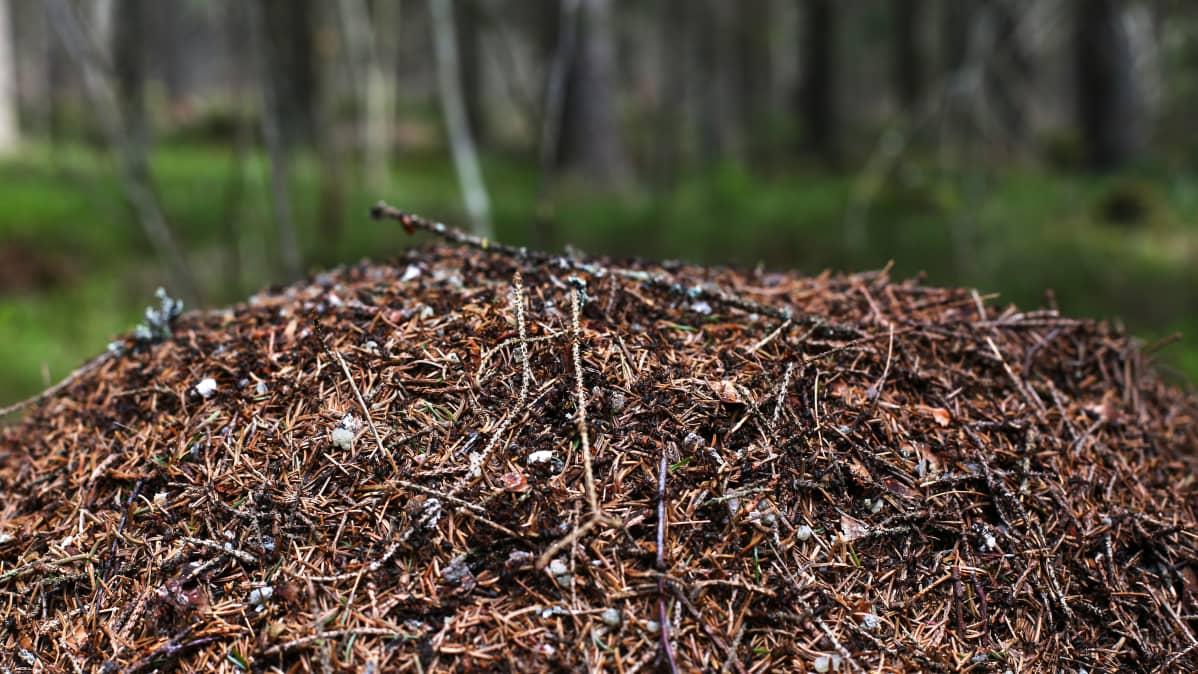 Muurahaispesä metsässä.
