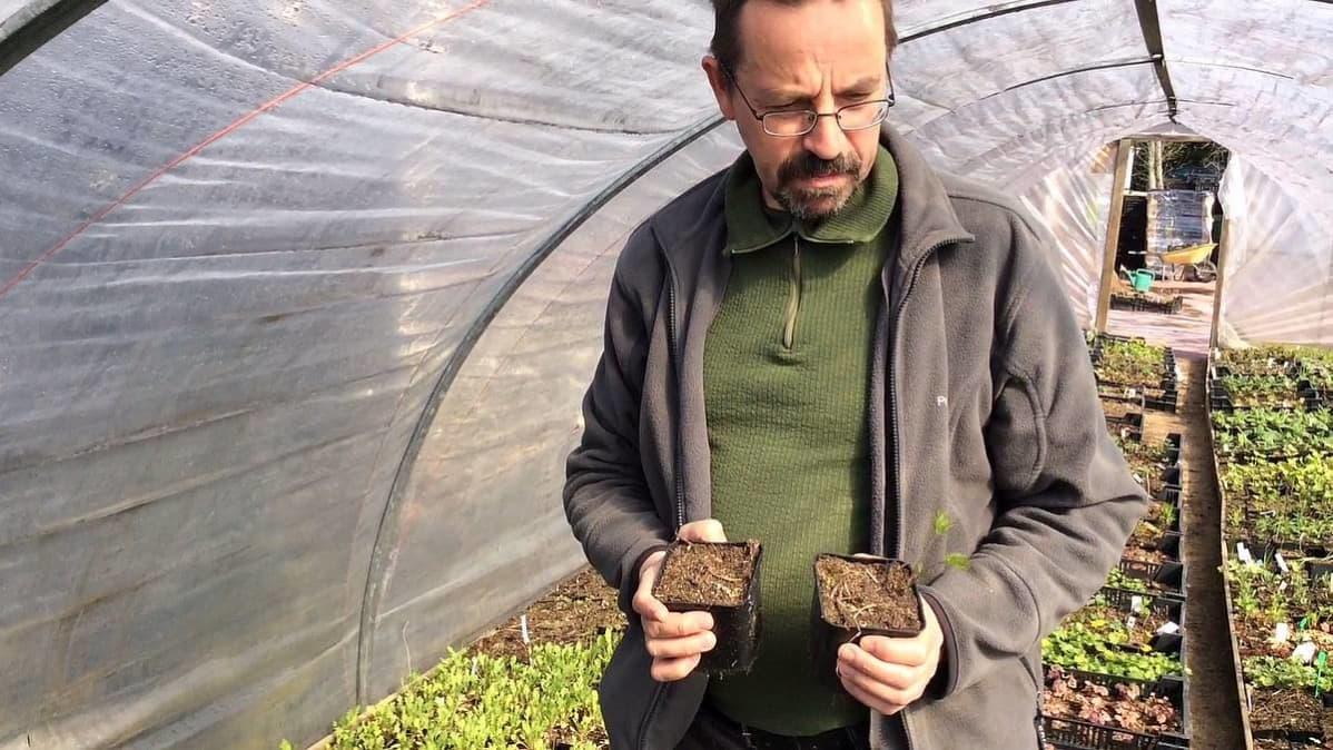 Yrittäjä Jari Särkkä tutkii taimituhoja kasvihuoneessaan.