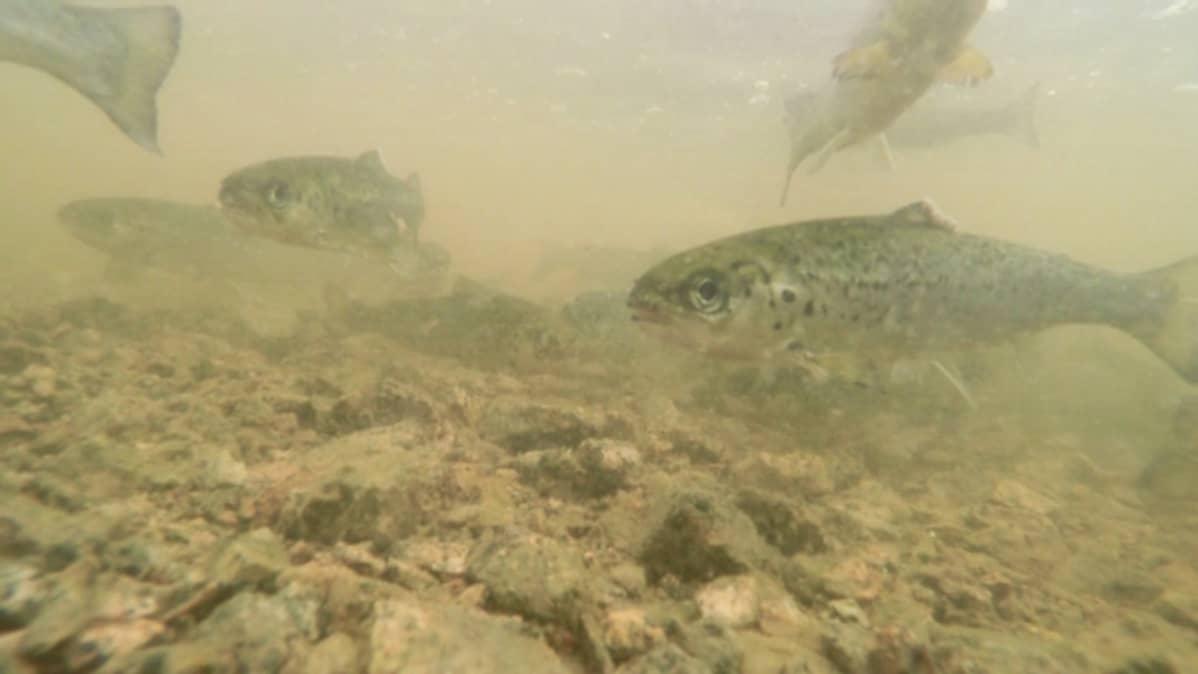 Virikekasvatettuja merilohen vaelluspoikasia Kymijoessa.
