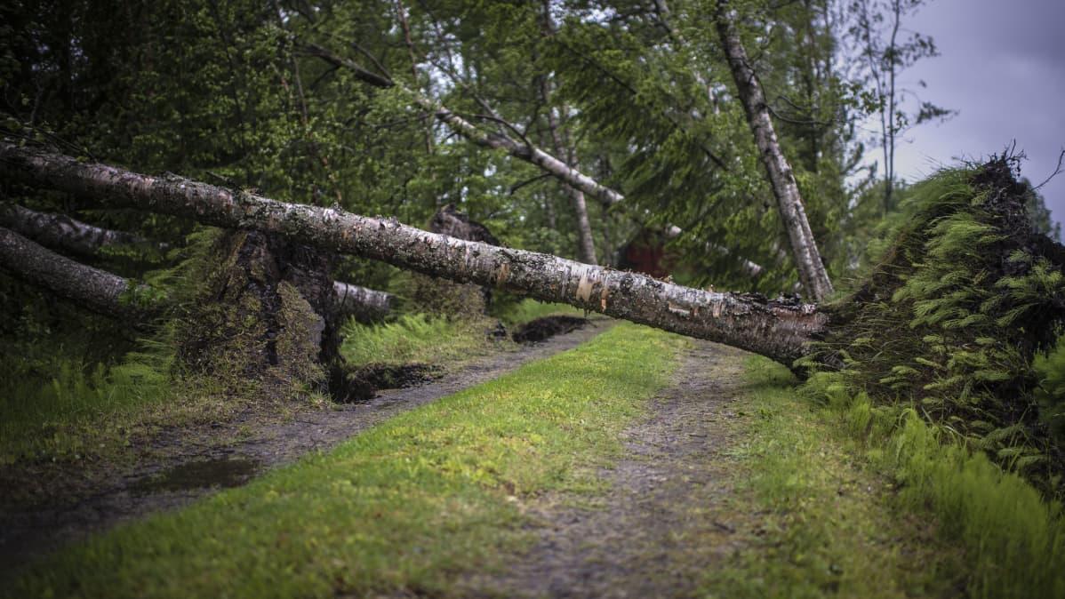 Salomo-myrskyn tuhoama koivukuja Kokkolassa.