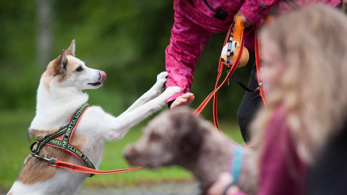Koira hyppää ihmisen kättä vasten
