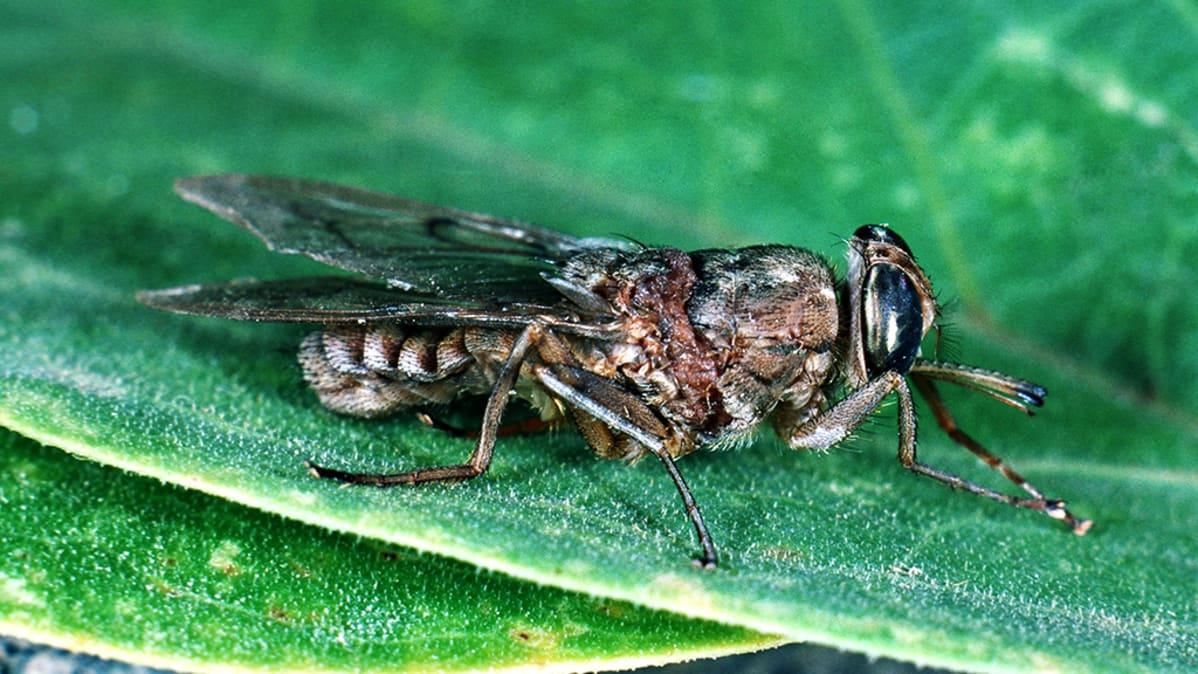 Tsetsekärpänen (Glossina).
