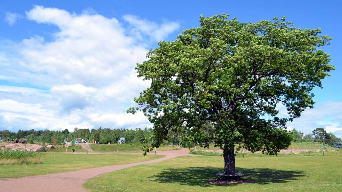 Suuri puu Katariinan meripuistossa Kotkassa.