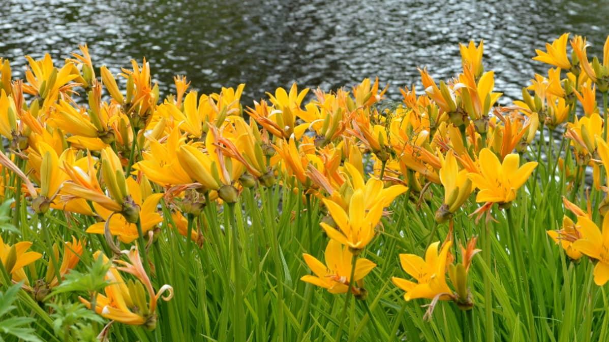 Keltaisia kukkia lammen rannalla Kotkan Karhulan jokipuistossa.