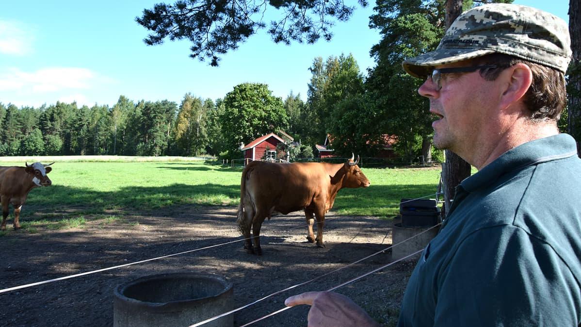 Isäntä katsoo laitumella olevia lehmiään