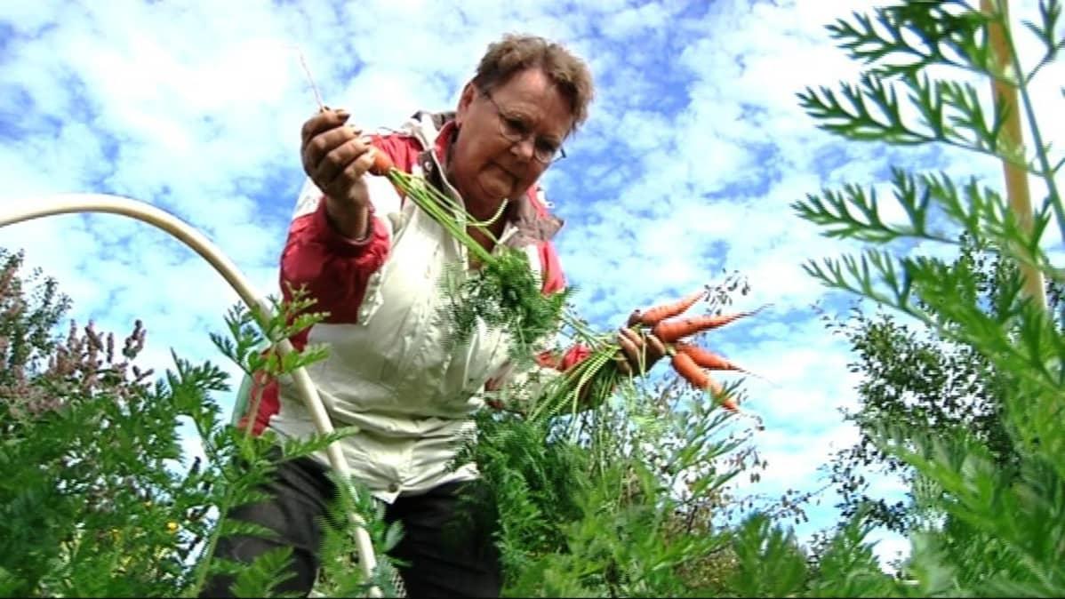 nainen kerää porkkanoita