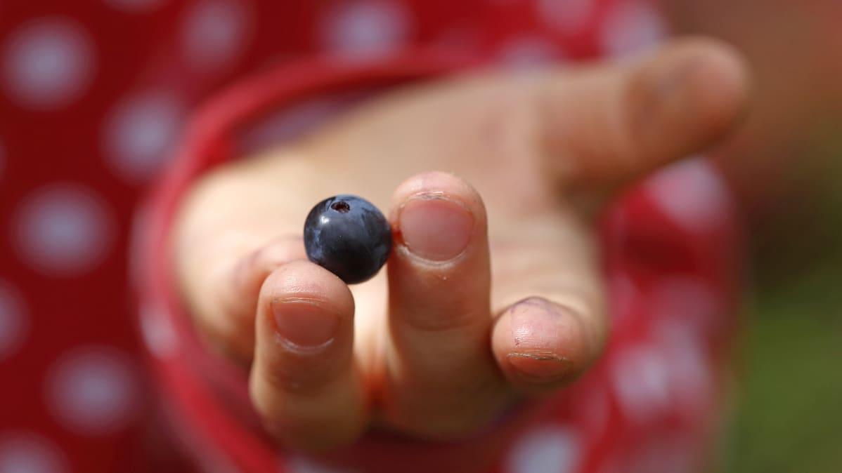 Lapsi pitää sormillaan yhtä mustikkaa.