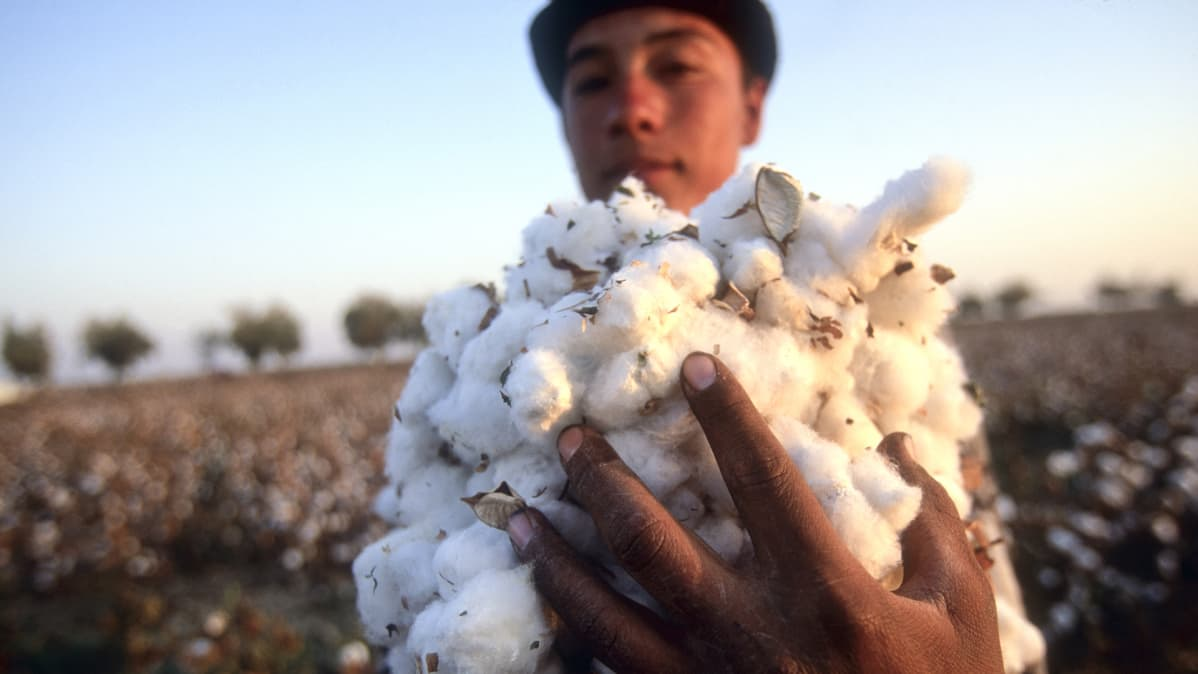 Puuvillan poimintaa Samarkandissa Uzbekistanissa.