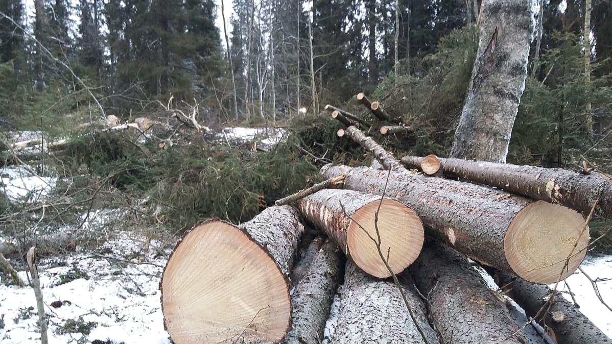 Metsän hakkuuta.