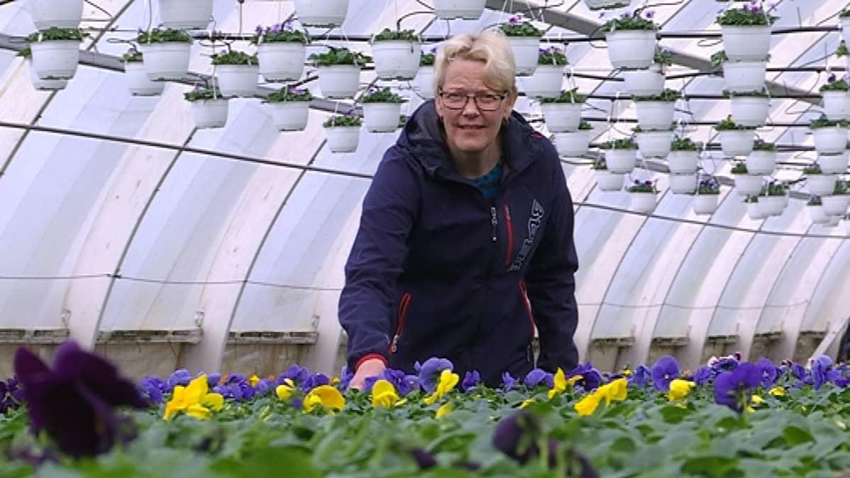 Yrittäjä Tarja Lakstedt kasvihuoneessa