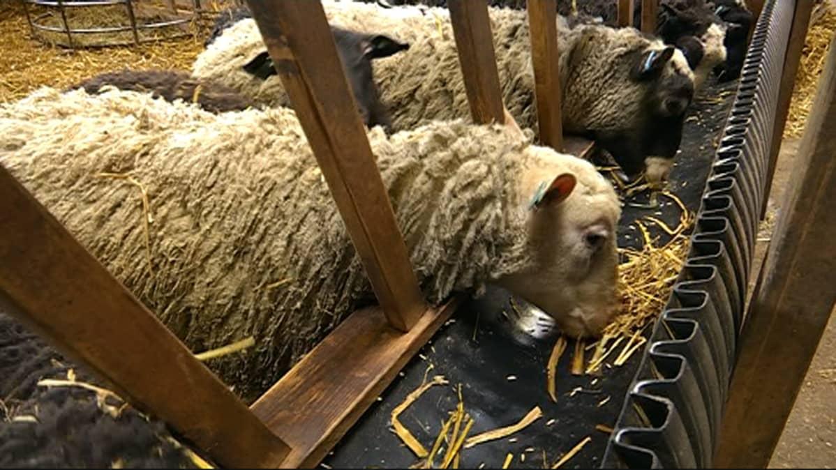Lampaita syömässä syöttökaukalosta.