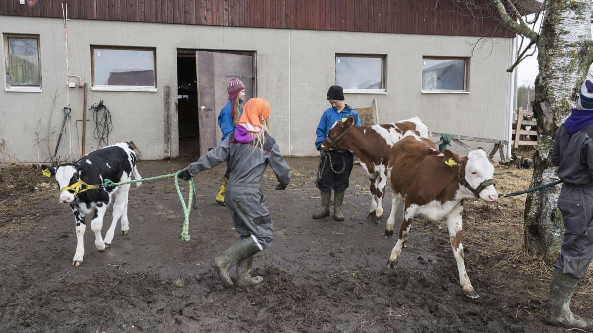 Lapset taluttavat vasikoita Iivonlahden maitotilalla