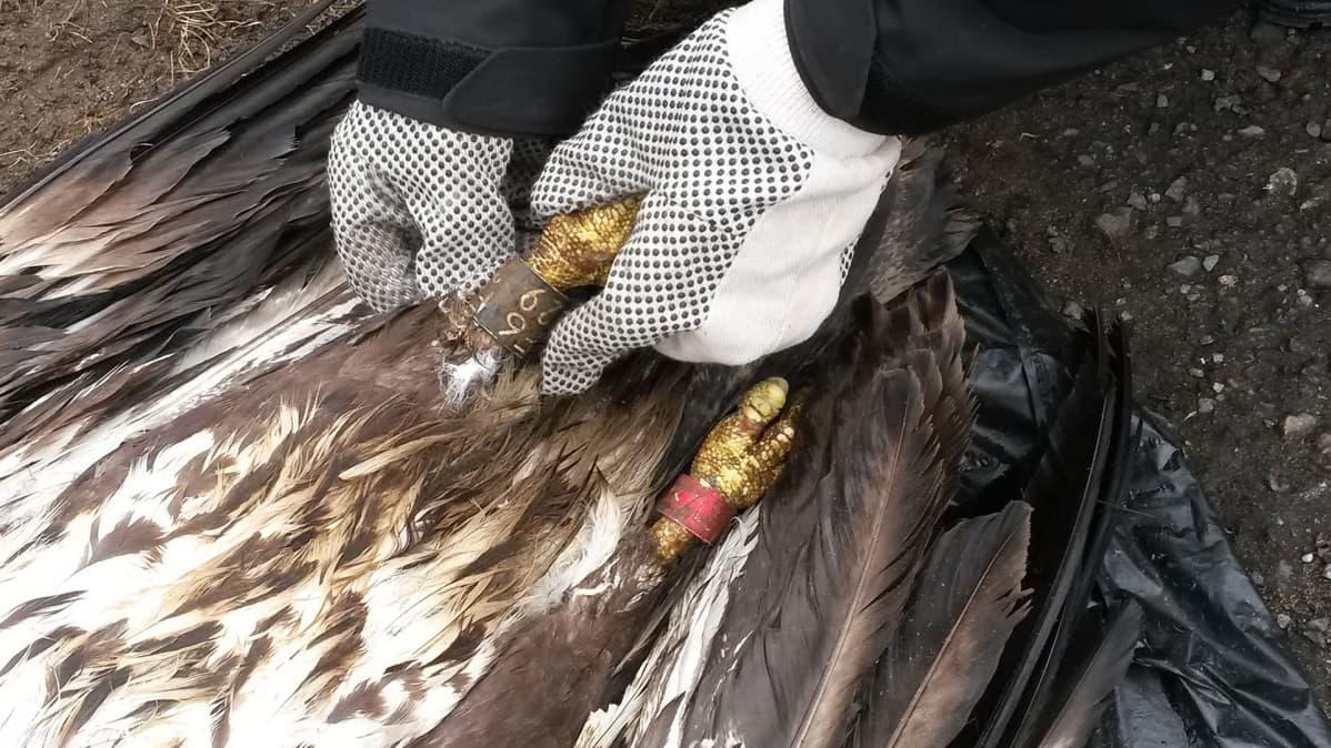 Kuolleen merikotkan jalka.