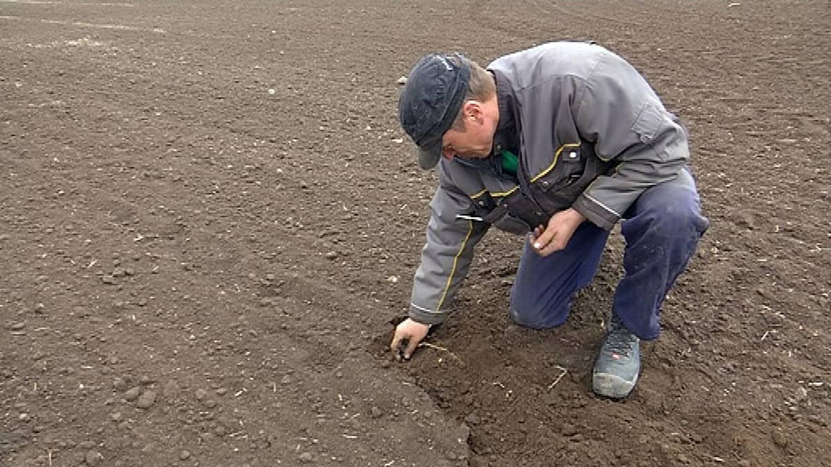 Maatalousyrittäjä Jussi Talvitie tarkastaa kylvettyjä härkäpapuja pellolla.
