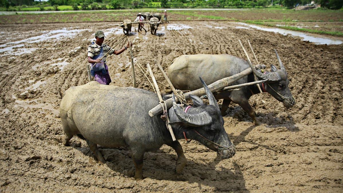 Riisinviljelyä Myanmarissa.