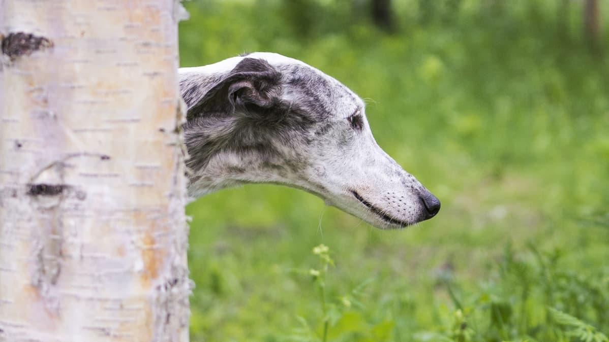 Lupita-galgo koirapuistossa.