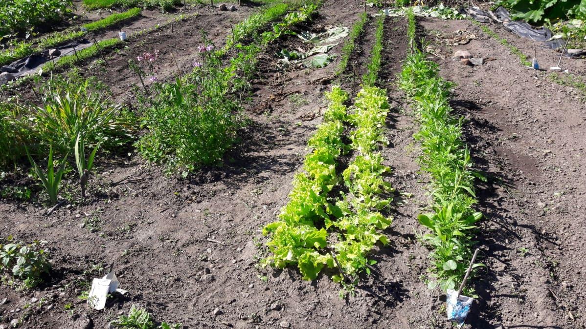 Salaattipenkkejä Annalan palstaviljelyalueella