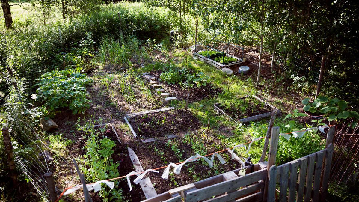 Kasvimaalla kasvaa juureksia, yrttejä ja salaattia.