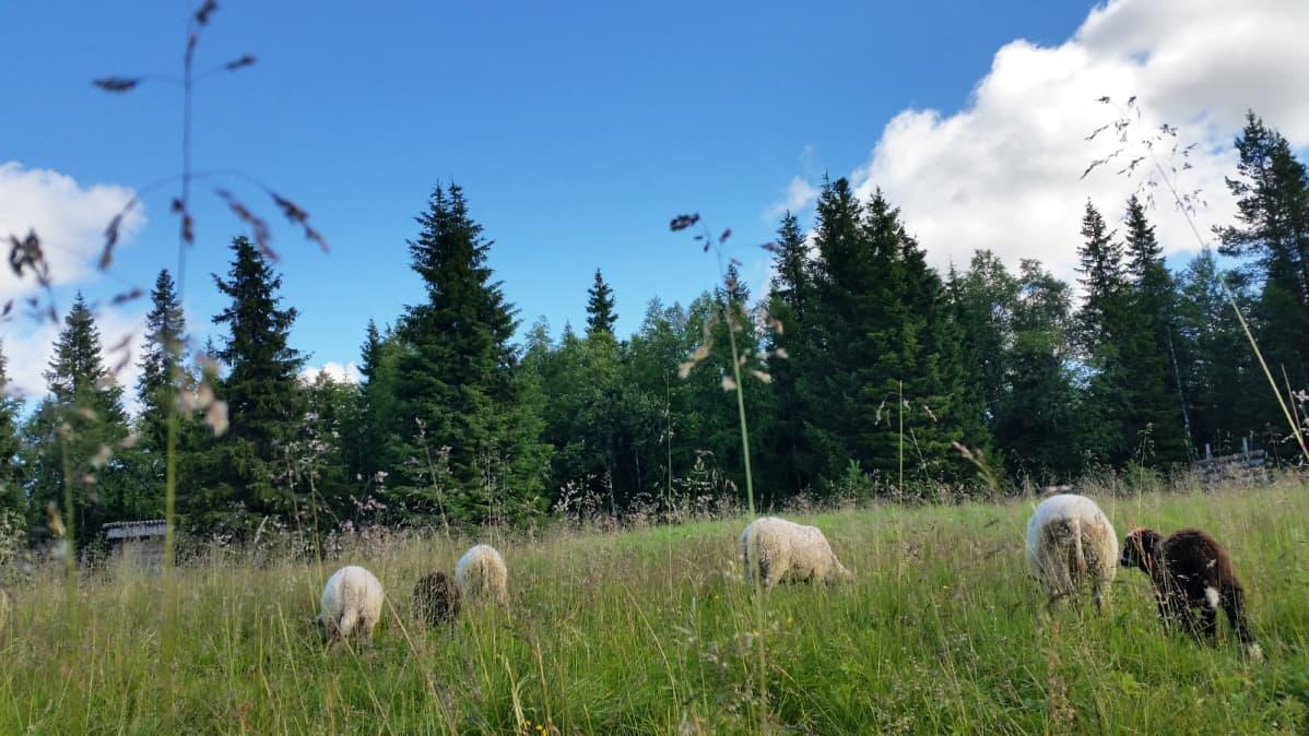 Lampaita laitumella Syötteen kansallispuistossa 2017.