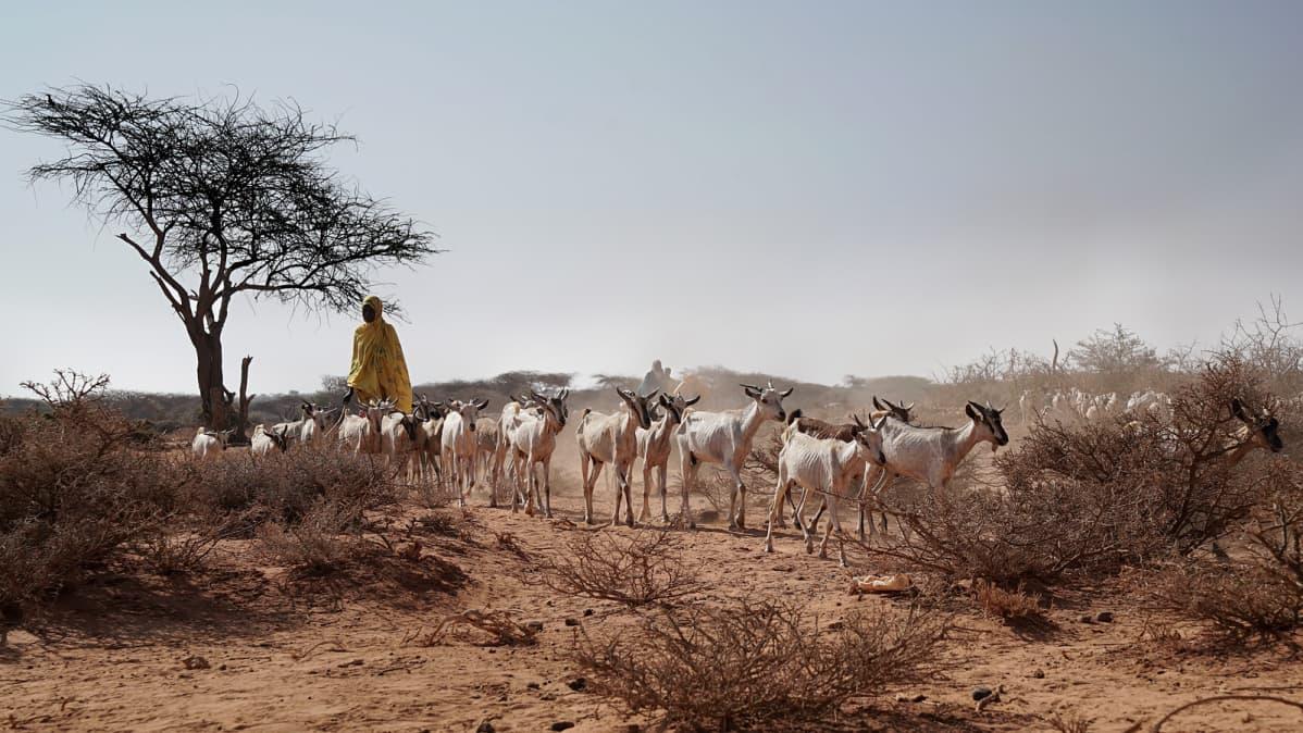 Vuohia Somalimaassa.