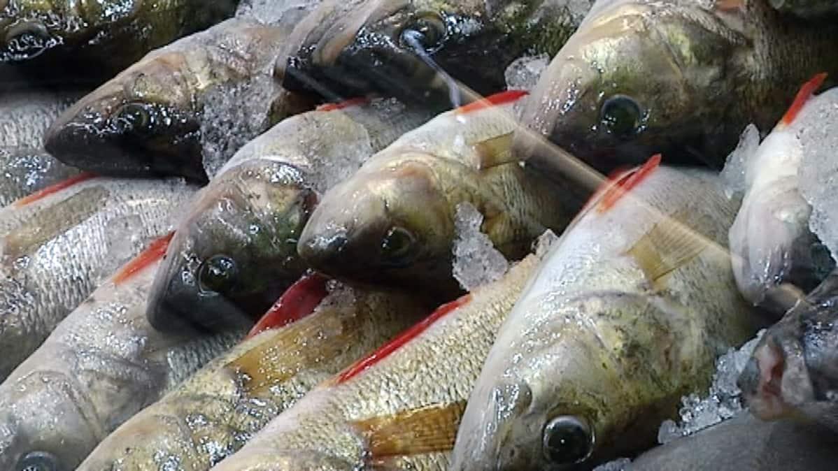 Ahvenia kalatiskillä.