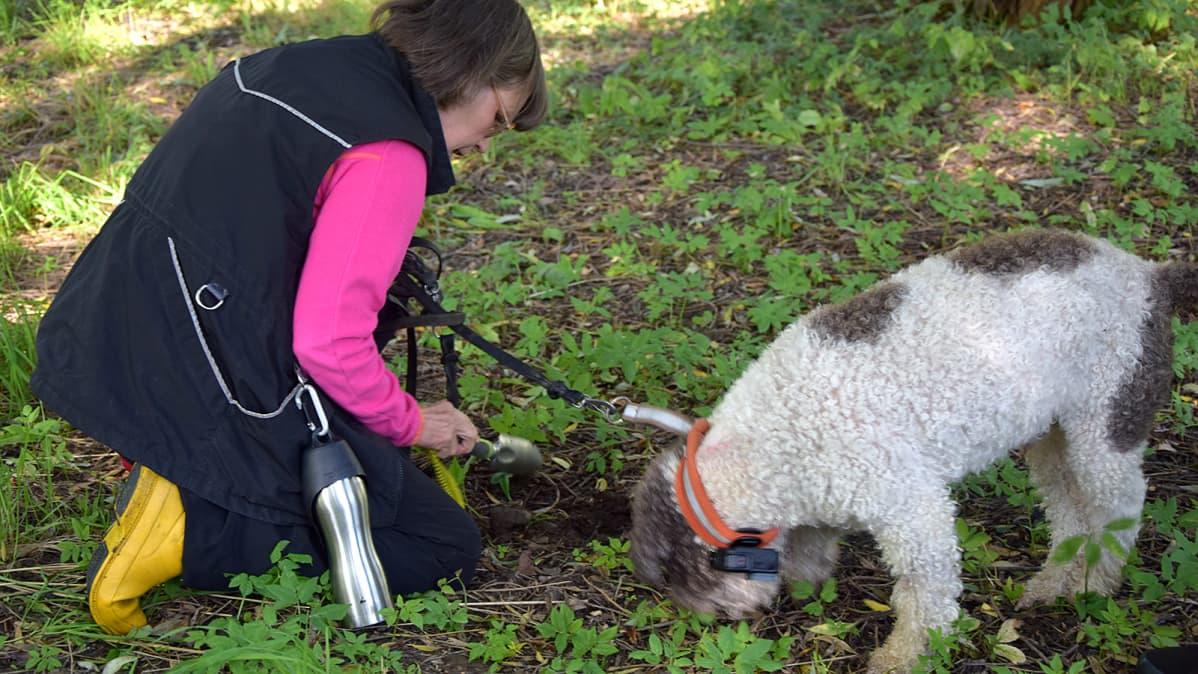 Nainen ja tryffelikoira etsivät tryffeleitä