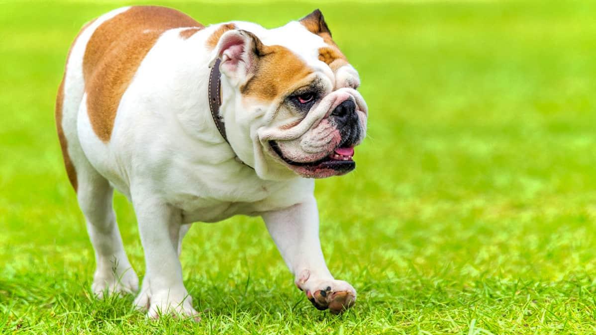 Bulldoggi