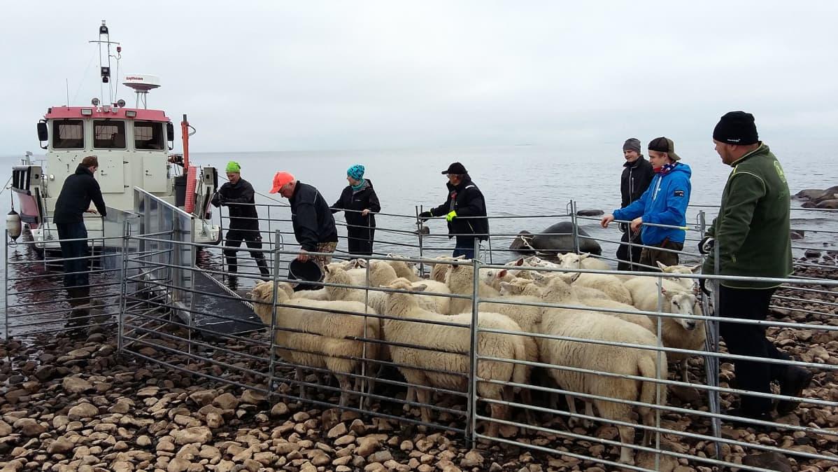Porukka ohjaa lampaita veneeseen