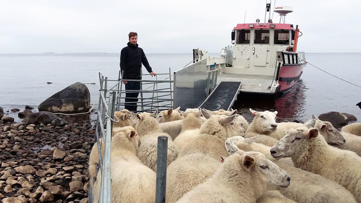 Lampuri Ville Eskola ja lammaslauma veneeseen menossa