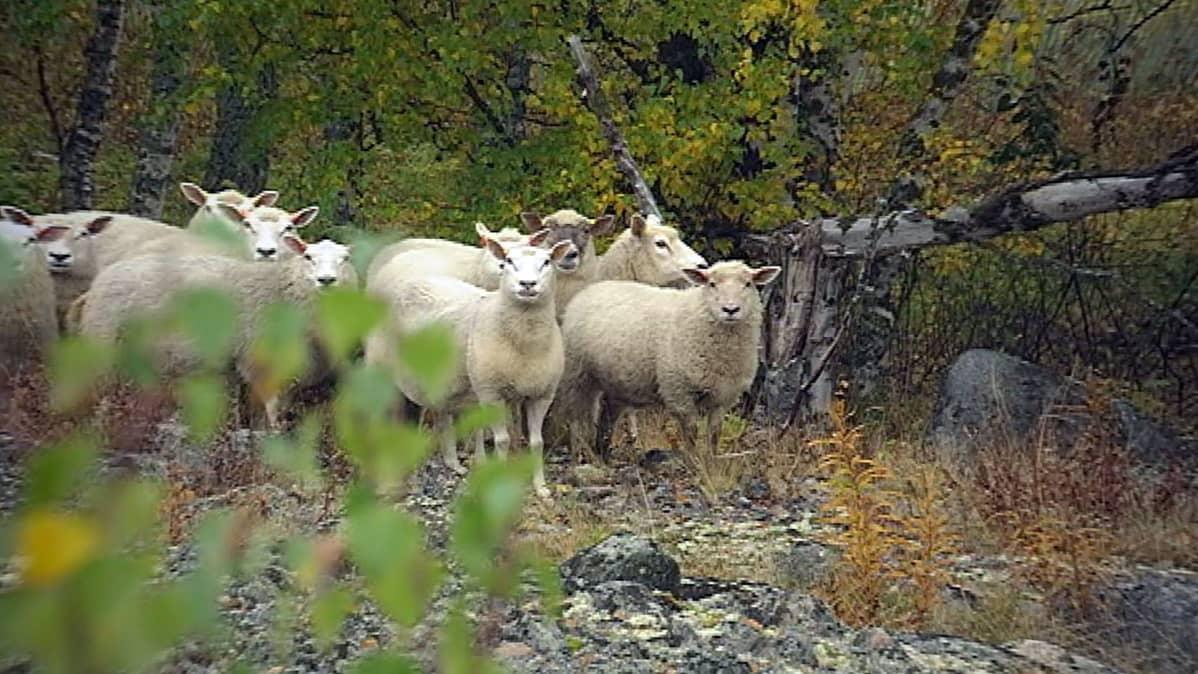 Lampaat maastossa