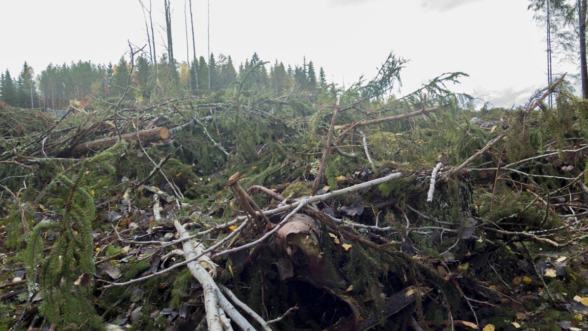 Okksia ja kaatuneita puita metsässä